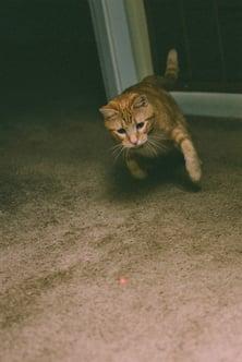 An orange cat chasing a laser pointer